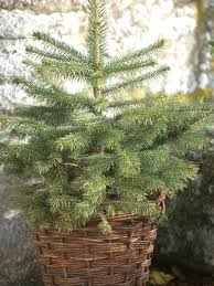 Balsam Christmas Trees Real by Christmas Tree In A Pot Hgtv