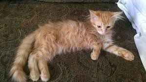 Do Maine Coons Shed In The Summer by Huge Difference Between Winter U0026 Summer Coat The Cat Site