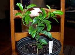 Christmas Tree Sapling Care by Growing Citrus Trees From Grocery Store Fruit Chriscondello