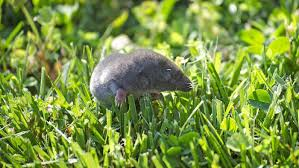 Top How To Get Rid Of Moles In The Backyard | Architecture-Nice How To Get Rid Of Moles Organic Gardening Blog Cat Captures Mole In My Neighbors Backyard Youtube Animal Wikipedia Identify And In The Garden Or Yard Daily Home Renovation Tips Vs The Part 1 Damaging Our Lawn When Are Most Active Dec 2017 Uerstanding Their Behavior Mole Gassing Pests Get Correct Remedy Liftyles Sonic Molechaser Alinum Covers 11250 Sq Ft Model 7900