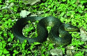 Snakes Of Louisiana | Louisiana Department Of Wildlife And Fisheries Backyard Snakes Effective Wildlife Solutions Snakes And Beyond 65 Best Know Them Images On Pinterest Georgia Of Louisiana Department Fisheries Southern Hognose Snake Florida Texas Archives What Is That 46 The States Slithery Species Nolacom Scarlet Kingsnake Cottonmouth Eastern Living Alongside Idenfication Challenge The Garden Or Garter My Species List New Engdatlantic