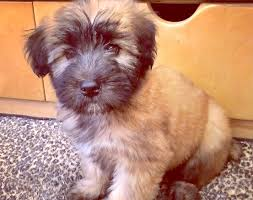 Do Wheaten Terrier Puppies Shed by 10 Facts About The Soft Coated Wheaten Terrier U0027s Silky Coif Petcha