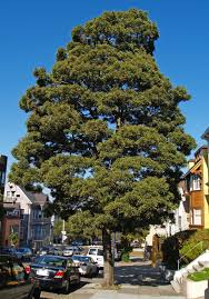 Most Common Christmas Tree Types by Urban Tree Species Directory Friends Of The Urban Forest