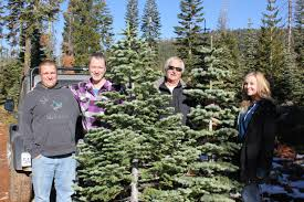 Silvertip Fir Christmas Tree by Searching For Silvertips The Perfect Christmas Tree 94 7 The Wave