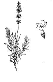 Lavandula Angustifolia Lavender Flower Coloring Pages