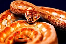 Coastal Carpet Python Facts by Orange Pepper Coastal Carpet Python Hadi Nezvyklá Zbarvení