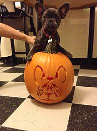 Minion Pumpkin Carving Tutorial by French Bulldog Pumpkin Carving For Halloween Bugaboo