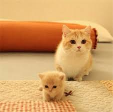 munchkins cats 20 munchkin cat pictures munchkin cat cat and animal
