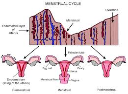 Shedding Uterine Lining After Miscarriage by The Changes In Your Uterus During Pregnancy Blog My Baby U0027s