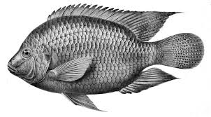 Tilapia Image Via Wiki Commons