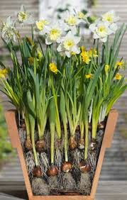 planting daffodil bulbs how to plant daffodils high country