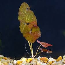 bulb nymphaea stellata for sale petsolutions