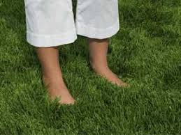 Carpet Grass Florida by Zoysia Farm Nurseries Why Zoysia