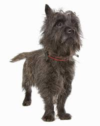 cairn terrier shed hair 35 breeds that don t shed small medium large breeds