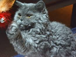 haired cats curly cats selkirk rex australia breeders kittens cats in