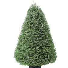 Nordmann Fir Christmas Tree Seedlings by Types Of Real Christmas Trees The Home Depot