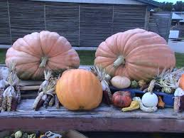 Maize Valley Pumpkin Patch by Fall Harvest Is Here We Offer A