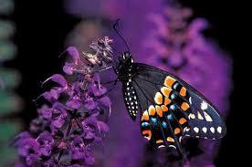 Happy Birthday Dark Butterfly