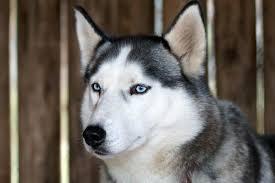 do siberian huskies shed animalwised