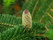 Christmas Tree Species Usa by Christmas Tree Cultivation Wikipedia
