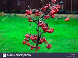 Winterberry Christmas Tree Farm by Dwarf Apple Tree Stock Photos U0026 Dwarf Apple Tree Stock Images Alamy