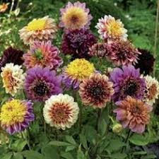 dahlia bulbs for sale does information on the plants also