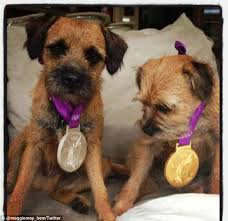 Border Terrier Non Shedding by Country Life Declare Border Terriers Are The Ideal Canine