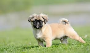 do pugs and puggles shed chug breed information