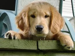Golden puppy training