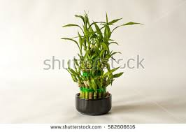 planting bamboo in a pot bamboo plant stock images royalty free images vectors