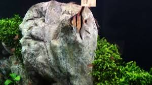 2 000 Liter Tank Set Up By Oliver Knott It Is 160cm High ... Aquascaping Artist Oliver Knott Scapingaquarium Pinterest Schwimmende Stein Steine Im Aquarium By Knott Youtube Aquascapi Sequa Interzoo 2012 Feat Chris Lukhaup Live Part 3 The Island Aquascape Step Aquariology With At The Koelle Zoo Heidelberg New Project Photo Editor Online And Editor Made Teil 1 Inspiration Tips Tricks Love Aquascaping Octopus Aquarium Via Aquac1ubnet