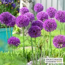 allium aflatunense purple sensation bulbs purple sensation