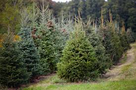 Christmas Tree Shop Henrietta Ny by Where To Cut Your Own Christmas Tree In Western New York