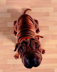 Do Shar Peis Shed Hair by Shar Pei With A Skin Disorder Pets