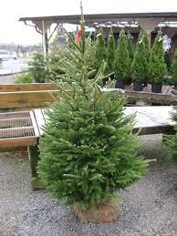 Balsam Christmas Trees Real by Real Christmas Trees Huntersgardencentre Com