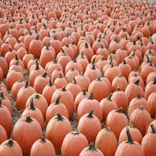 Apple Pumpkin Picking Syracuse Ny by Find Pick Your Own Pumpkin Patches In New York Corn Mazes And