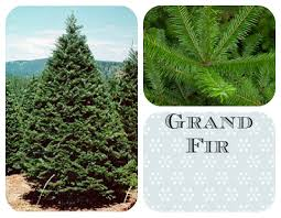 Sears Canada Pre Lit Christmas Trees by How To Choose The Best Christmas Tree As Mom Sees It