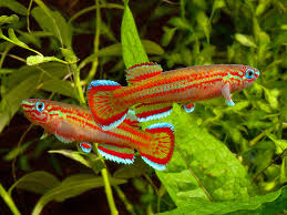 aphyosemion primigenium tropical fish aquariums