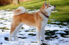Do Akita Dogs Shed Hair by Cold Weather Dog Breeds What To Know