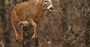 Deer Antler Shedding Cycle by Why Do Bucks Lose Their Antlers The Science Behind Sheds
