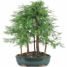 Christmas Tree Shop Hartsdale New York by Money Tree Bonsai Tree Walmart Com