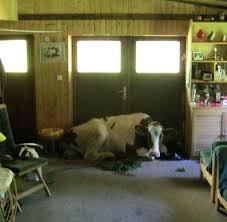 eine kuh im wohnzimmer bilder fotos welt