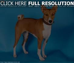 All Dog Breeds That Dont Shed by Dog Breed That Don T Bark Dog Breeder