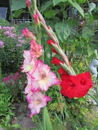 gladiolus how to plant grow and care for gladiolus the