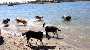 Dogs Play At The Beach, Dog Beach, Barking Collies Water Play ... Backyards Excellent 9 Burkes Backyard Pets Amazing Pet Rare Woolly Dog Hair Found In Northwest Blanket Q13 Fox News Agility With Australian Cattle Youtube Welsh Springer Spaniel Wikipedia How To Stop Dogs From Pooping On Your Front Lawn Dog Do It Yourself Diy Set Hurdles Jumps Gardener And Tv Personality Don Burke 3 Masters Sequences Annotated Bordoodle Pinterest Breeds Pechinez Awesome 25 Best Ideas About Outdoor Kennels On
