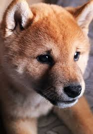 307 best shiba images on shiba inu puppies and akita