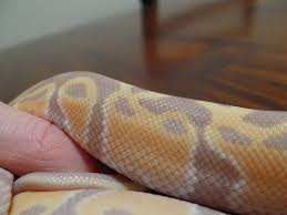 Ball Python Shedding Signs by Experienced Banana Cg Owners Mites