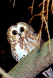 The Owls Of Penn's Woods | Pennsylvania EBird White Screech Owl Illustration Lachina Bbc Two Autumnwatch Sleepy Barn Owl Yoga Bird Feeder Feast And Barn Wikipedia Attractions In Cornwall Sanctuary Wishart Studios Red Eastern By Ryangallagherart On Deviantart Owlingcom Biology Birding Buddies 2000 Best 2 Especially Images Pinterest Screeching Youtube