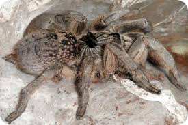 Remains Of The Day Spiders by Nzg E News Horned Baboon Spider