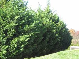 Leyland Cypress Christmas Tree by Groshs Lawn Service Leyland Cypress Tree Pruning In Hagerstown